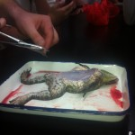 frog dissection 007