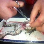 frog dissection 009