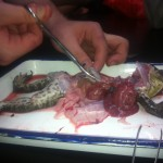 frog dissection 016